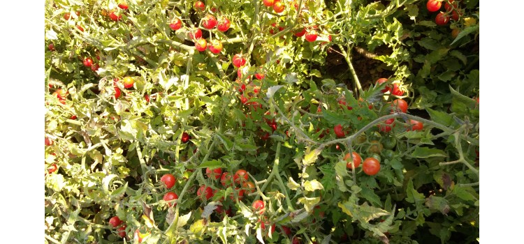 Boncuk çeri salkım domates dünyanın en küçük domatesi evde yetiştirilebilir
