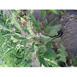 Kemer patlıcan doğal yerli atalık geleneksel tohum