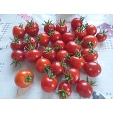 Kan kırmızı oturak çeri domatesi