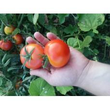 Ayaş domatesi tohumu