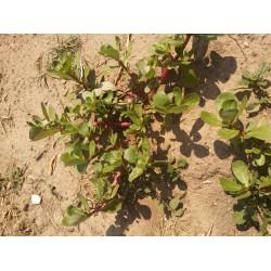 Geniş yapraklı semiz otu tohumu