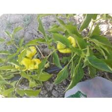 Geleneksel yeşil dolma biberi tohumu