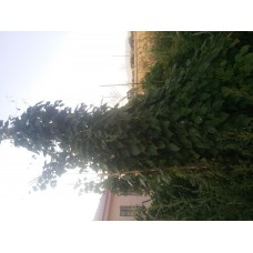 Osmanlı sırık fasülye tohumu