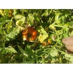 kırmızı kıvırcık köy domatesi Balıkesir menşei