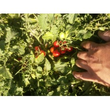 Boncuk çeri  domates