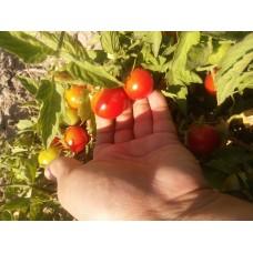 Tam bodur çeri domates saksılık