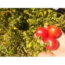 Küçük yuvarlak kırmızı domates