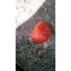 Aycan köy domatesi iri ince kabuklu lezzetli