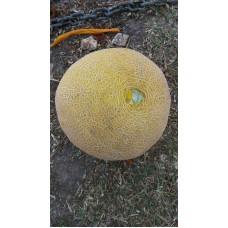 Galia kavun geleneksel tohum çok lezzetli