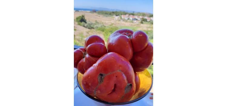 Balıkesir Kırmızı iri Köy domatesi Okka domates
