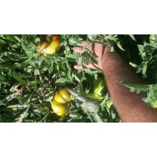 Afgan domatesi