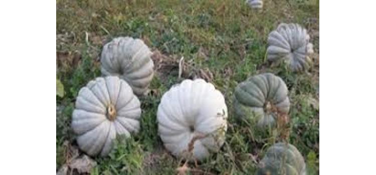 Kestane balkabağı yerli gdo suz atalık tohum