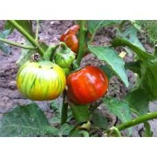Kırmızı patlıcan