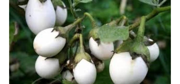 Yumurta patlıcan süs patlıcanı geleneksel tohum