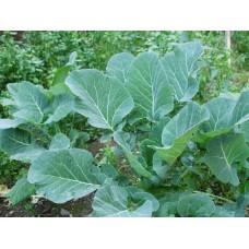 Karadeniz kara lahana tohumu