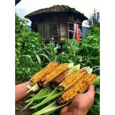 Yerli mısır gdo suz geleneksel atalık tohum
