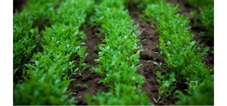 Doğal tere tohumu